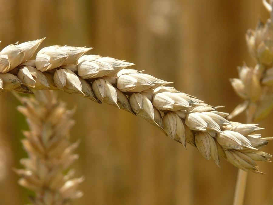 Globálna potravinová bezpečnosť